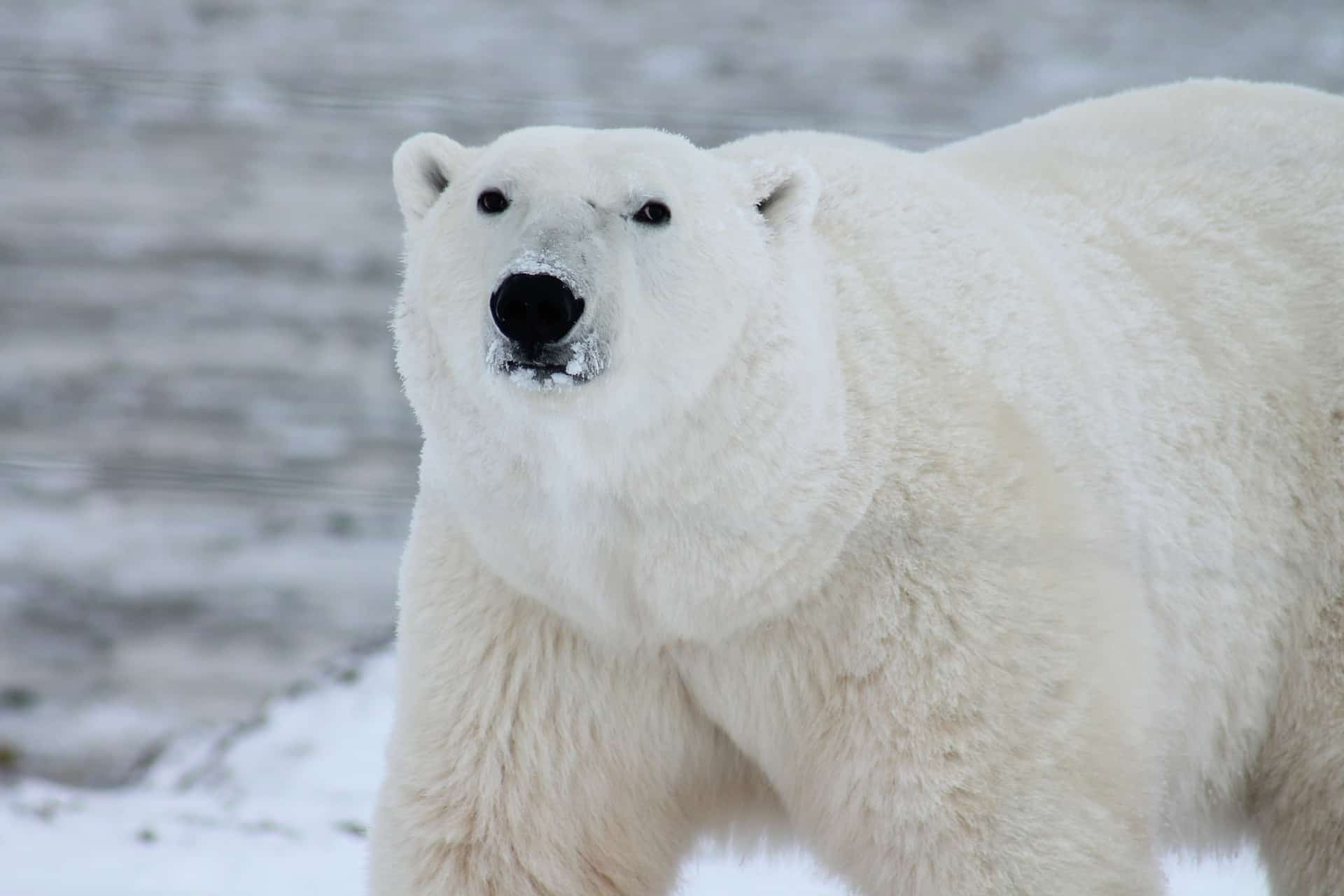 Polar Bear Habitat: Why It Is Important