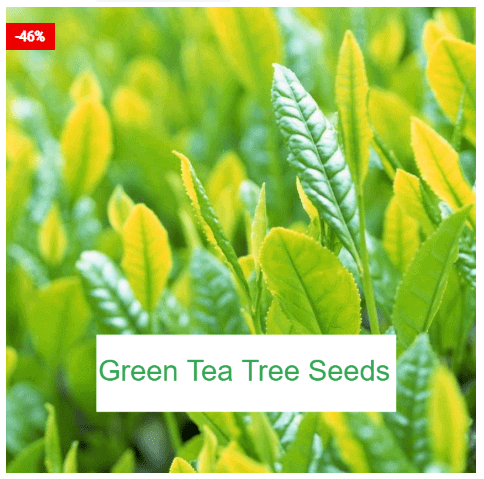 Chinese Green Tea Plant Seeds (5 seeds)