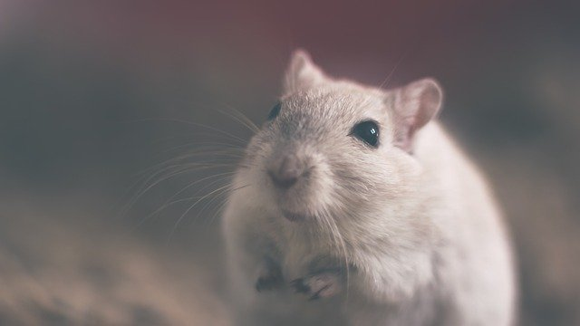 A rodent looking at the camera